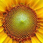 The Golden Ratio in Sunflower Structure